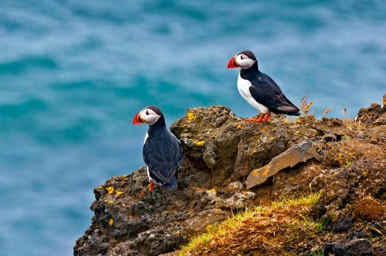 Puffins gibts auf eurer Reise nach Island mit Kindern auch zu sehen