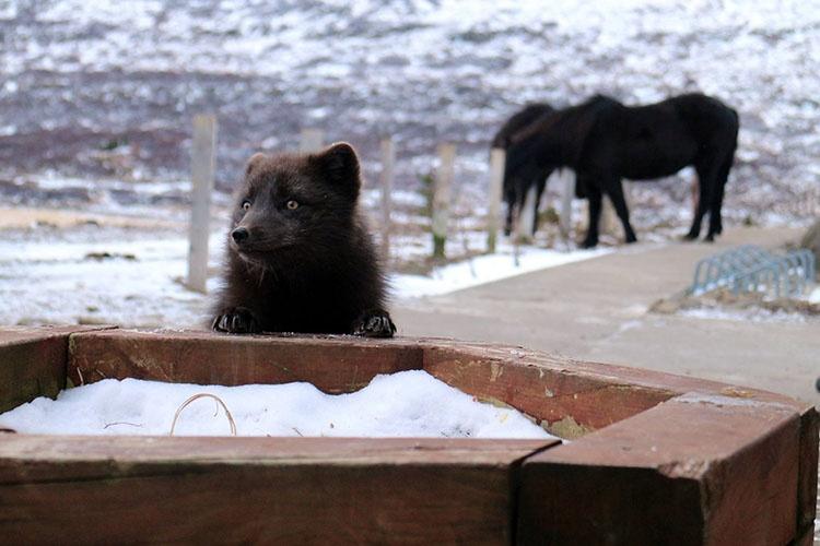 Polarfuchs. Familienreise im Winter auf die Westfjorde in Island. Fjordkind-Reisen präsentiert eine Nordlichtreise.