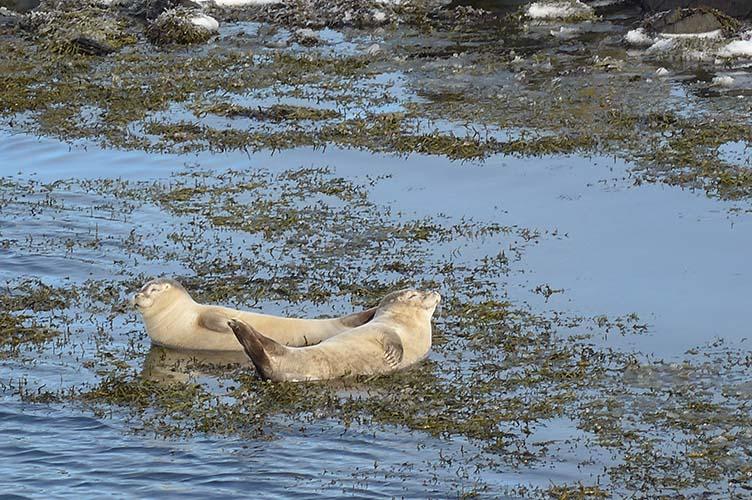Seehundkolonien vor Nordisland, Polarlichtreise
