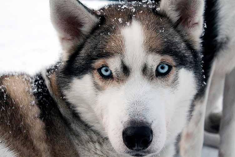 Winterwoche mit Husky Tour und Schneeschuhwandern in Finnland