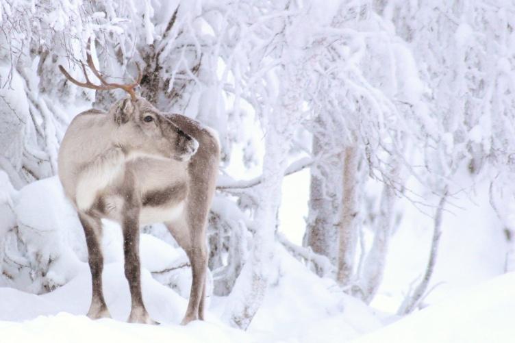 Winterurlaub in Finnland mit der ganzen Familie mit Hundeschlittentour - bei Fjordkind-Reisen buchen