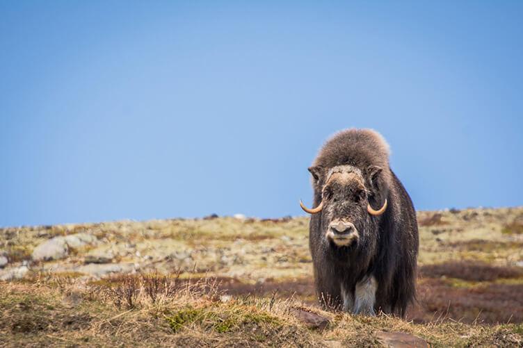 Familienradtour im Nationalpark Dovrefjell