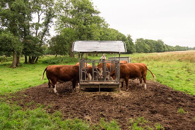 Kühe am Trog könnt ihr auf einem Urlaub in Dänemark mit Kindern erleben.